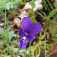 Image of <i>Viola merxmuelleri</i> M. Erben