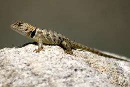 Image of Yellow-backed Spiny Lizard