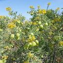 Image of <i>Peritoma arborea</i> var. <i>globosa</i> (Coville) Iltis