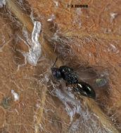 Image of <i>Pachyneuron aphidis</i> (Bouche 1834) Bouche 1834