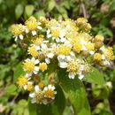 Image of <i>Alloispermum integrifolium</i> (DC.) H. Rob.