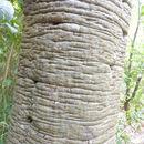 Image of <i>Quercus castanea</i> Née