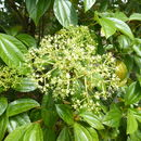 Image of <i>Viburnum cinnamomifolium</i> Rehder