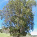 Image of Sonoran oak