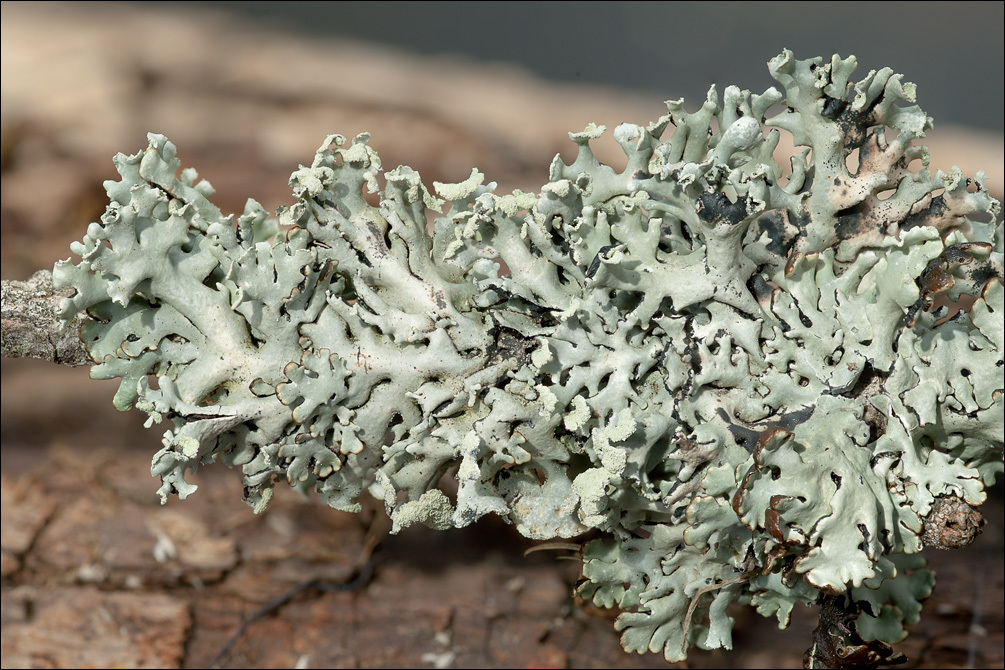 Image of tube lichen