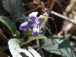Image of Ponderosa violet
