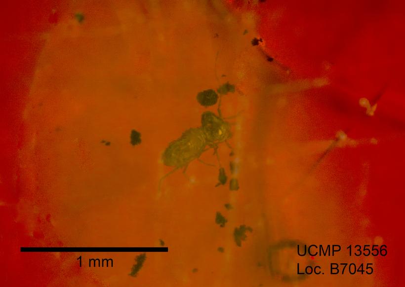 Image of Psyllipsocus