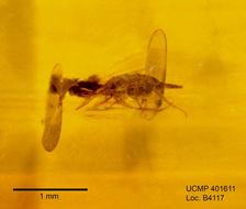 Image of anthomyzid flies