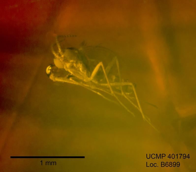 Image of Bradysia