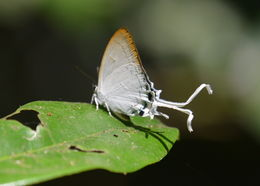 Image of Common Imperial