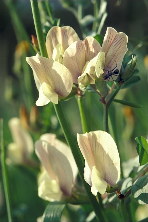 Image of large yellow vetch