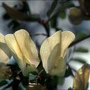 صورة <i>Vicia grandiflora</i> Scop.