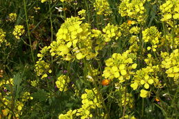 Image of white mustard