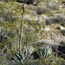 Image of Century Plant or Maguey