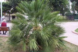 Image of European fan palm