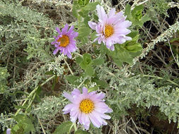 Image of Orcutt's aster