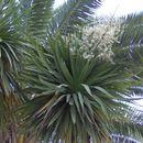 Image of Cordyline