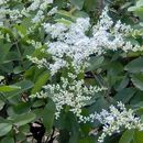 Image of Chinese privet