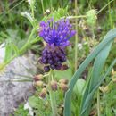 Image of tassel grape hyacinth