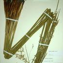 Image of <i>Juncus textilis</i> Buch.