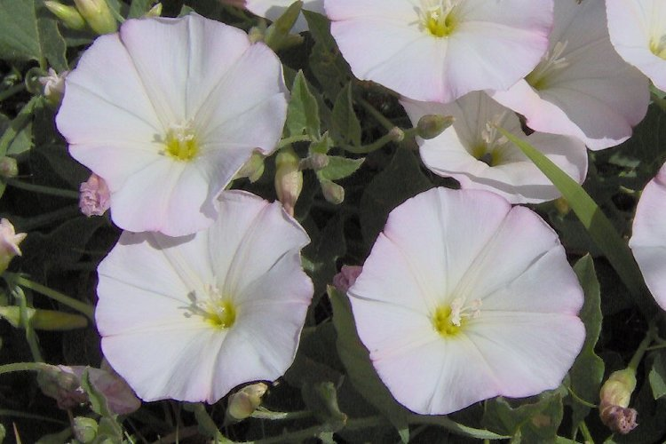 Image of Field Bindweed