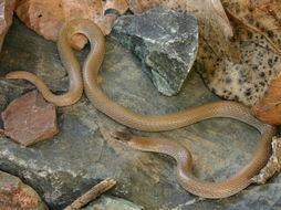 Image of Southwestern Black-headed Snake