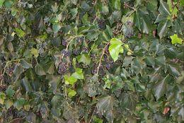 Image of English ivy