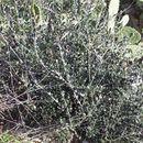 Image of <i>Olea europaea</i> var. <i>oleaster</i>