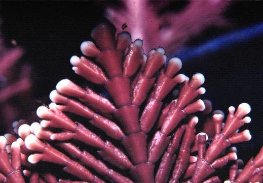 Image of <i>Corallina officinalis</i> var. <i>chilensis</i>