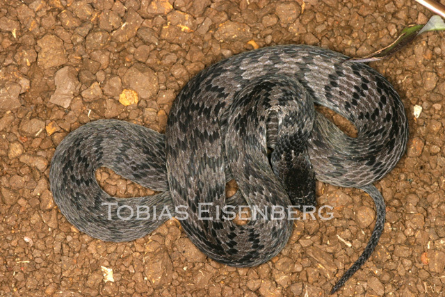 Image of Spotted Coffee Snake
