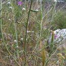 Image of <i>Centaurea deusta</i> Ten.