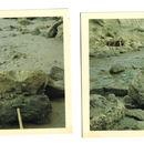 Image of <i>Thalassoleon macnallyae</i> Repenning & Tedford 1977