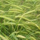 Image of common barley