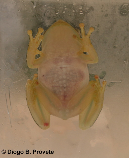 Image of <i>Phyllodytes luteolus</i> (Wied-Neuwied 1824)