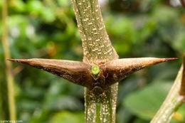 Image of <i>Vachellia hindsii</i> (Benth.) Seigler & Ebinger