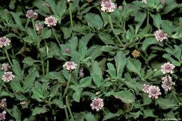Image of <i>Phyla nodiflora</i> (L.) Greene