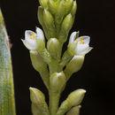 Image of Carnivorous Bromeliad