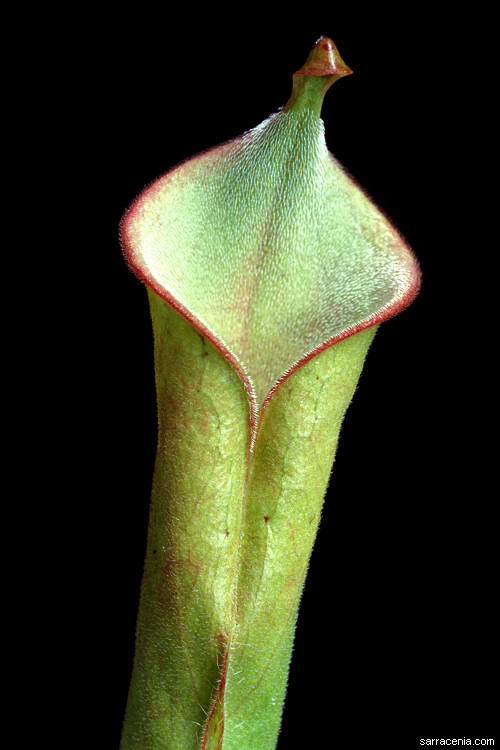 Image of <i>Heliamphora tatei</i> Gleason