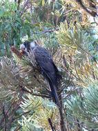 Image of Long-billed black cockatoo