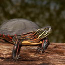 Image of Painted Turtles