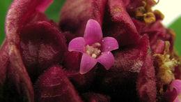 Image of <i>Psychotria rosea</i>