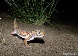 Image of Small-scaled Wonder Gecko