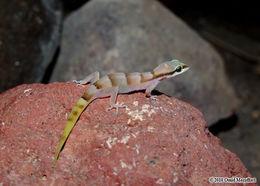 Image of <i>Microgecko <i>persicus</i></i> persicus (Nikolsky 1903)