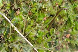 Image of <i>Conocephalum salebrosum</i> Szweyk., Buczk. & Odrzyk.