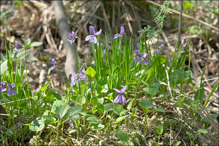 Image of <i>Viola uliginosa</i> Besser