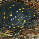 Image of Spotted Turtles