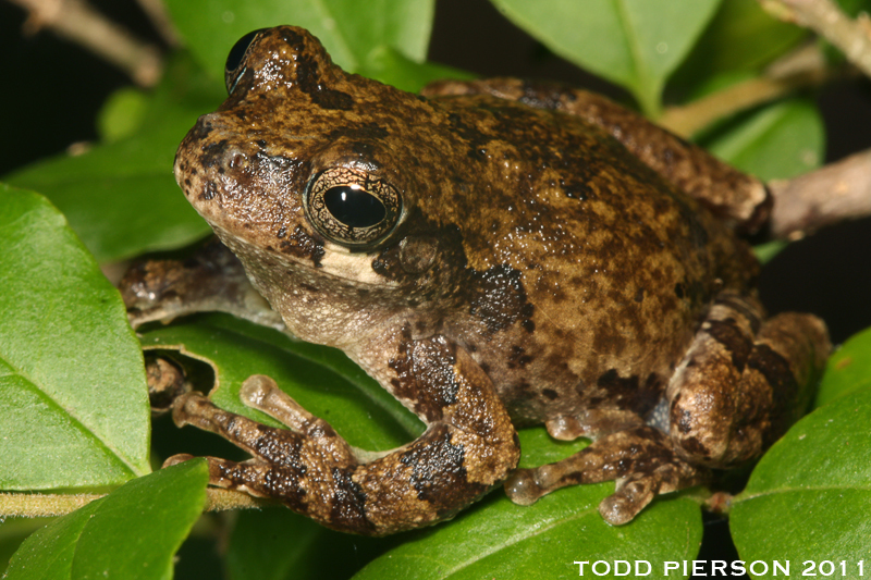 Image of Bird-voiced Treefrog