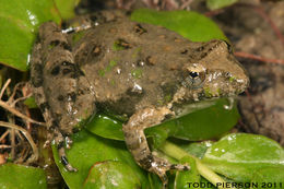 Image of Blanchard's cricket frog