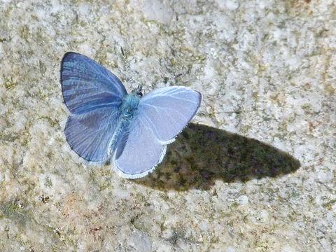 Image of <i>Celastrina <i>echo</i></i> echo