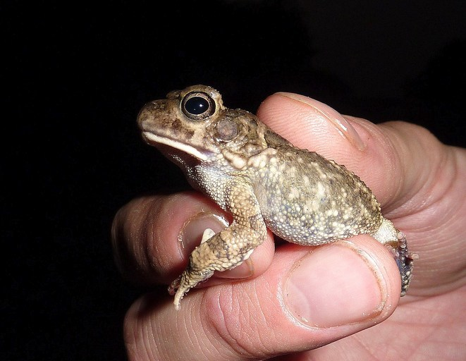 Image of African Common Toad